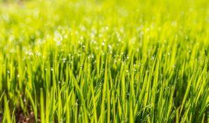 grøn græsplæne
